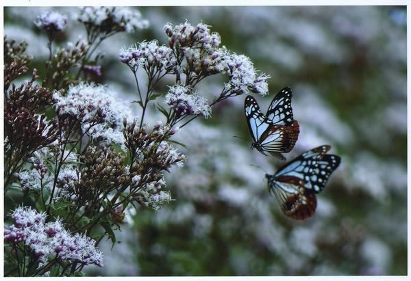 「渡り蝶」  北原 博