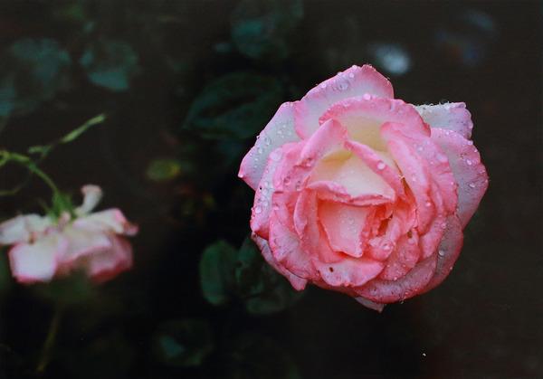 「バラの花」  児玉 勝年