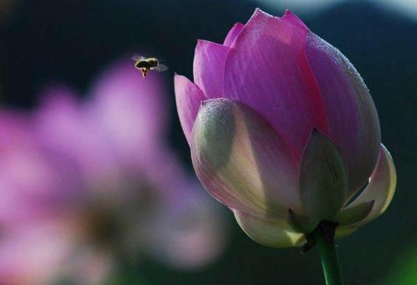 「 蓮の花 」  小田清治