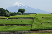<静岡の今> 「おおぶちお茶まつり」  高根美奈夫