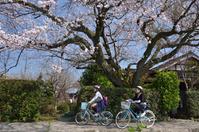 <静岡の今> 「桜」 益田 武