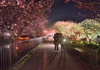 <静岡の今> 「夜桜ナイトウォーク」  竹之内範明