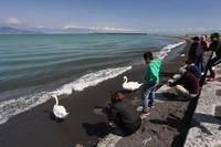 <静岡の今> 「三保海岸に白鳥憩う」  薩川高宏