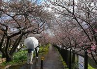 <静岡の今> 「春を...