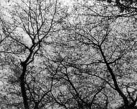 「 桜満開 」  鈴木喜春