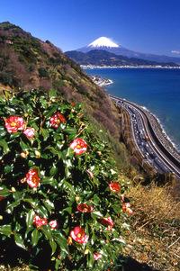 椿と富士山