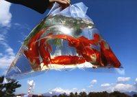 ●カラー写真の部 ◎特選 「金魚」 三ツ井道代